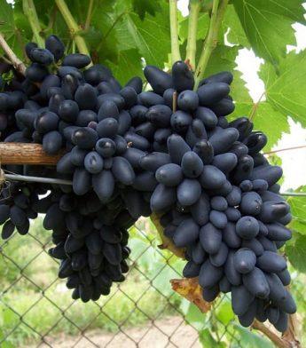 Vynuogė 'Kodrianka' (Vitis vinifera)