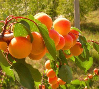 """Abrikosas """"Raudonskruostis"""" (Prunus cerasifera)"""