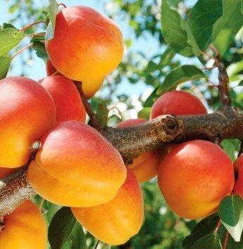 """Abrikosas """"Šiaurės triumfas""""(Prunus armeniaca)"""