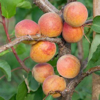 """Abrikosas """"Somo""""(Prunus armeniaca)"""