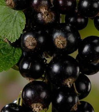 """Juodasis serbentas """"Titania"""" (Ribes nigrum)"""