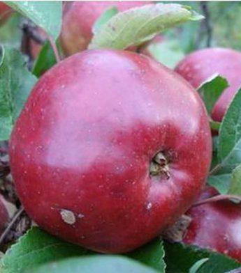 "Obelis ""Antėj"" (Malus domestica)"