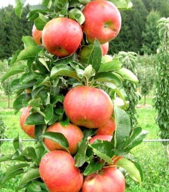"""Obelis koloninė """"Ilma"""" (Malus domestica)"""