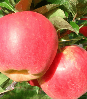 """Obelis koloninė """"Kanadietiška"""" (Malus domestica)"""