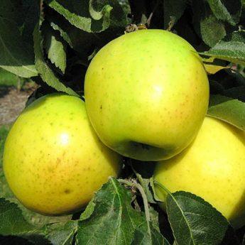 "Obelis koloninė ""Nataliuška"" (Malus domestica)"