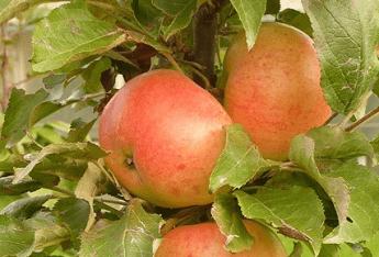 """Obelis koloninė """"Valiuta"""" (Malus domestica)"""