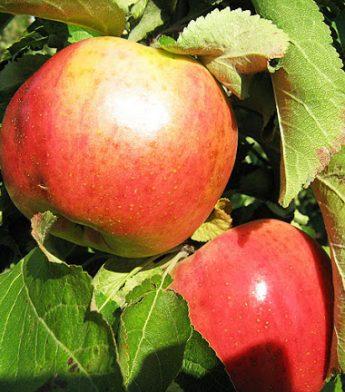 """Obelis koloninė """"Vasiugan"""" (Malus domestica)"""
