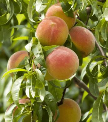 """Persikas """"Maira"""" (Prunus cerasifera)"""