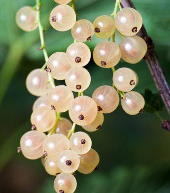 "Serbentas baltasis ""Jutenborgo"" (Ribes aureum)"