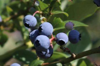 Šilauogė aukštoji 'Early Blue' (Vaccinium corymbosum)