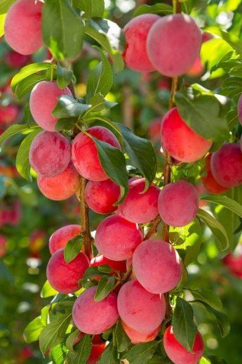 "Slyva ""Kometa"" (Prunus domestica)"