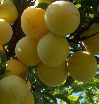 "Slyva ""Ontario"" (Prunus domestica)"