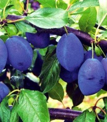 "Slyva ""Stanley"" (Prunus domestica)"