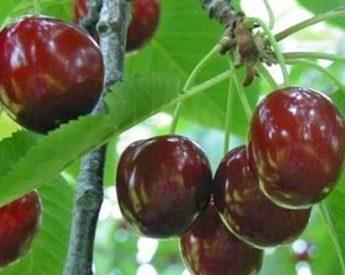 """Trešnė """"Kristiina"""" (Prunus avium)"""