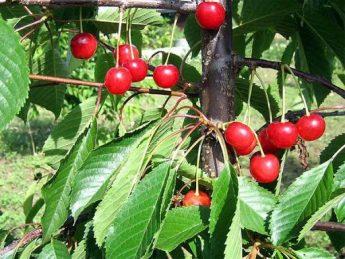 Tresne-Madissono-rozine-Prunus-avium