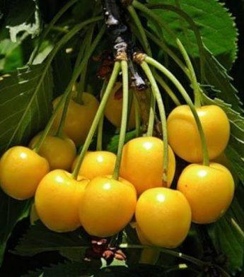 """Trešnė """"Paula"""" (Prunus avium)"""