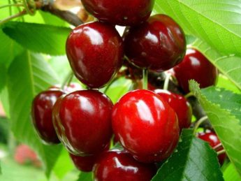 """Trešnė """"Regina"""" (Prunus avium)"""