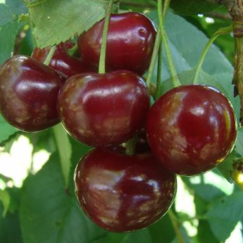 "Vyšnia ""Pandy"" (Prunus cerasus)"