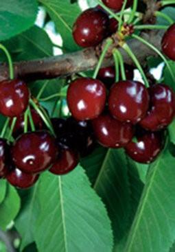 """Vyšnia """"Turgenevka"""" (Prunus cerasus)"""