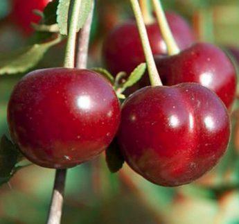 """Vyšnia """"Vytėnų žvaigždė"""" (Prunus cerasus)"""