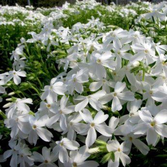 Flioksas-ylalapis-Phlox-subulata-White-Delight