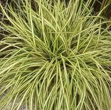Viksva-Evergold-Carex-oshimensis