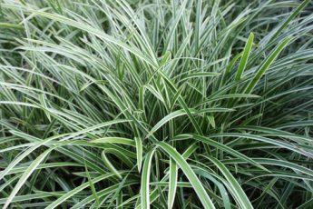 Žvilgioji-viksva-Ice-Dance-Carex-oshimensis