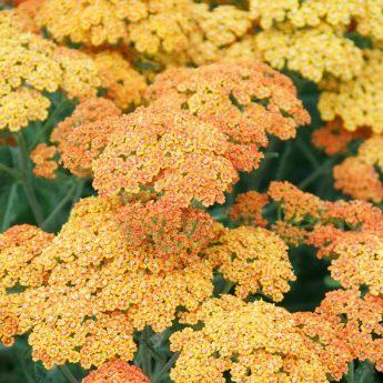 Kraujažolė-Achille-millefolium-Terracotta