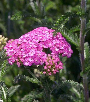 Paprastoji-kraujazole-Achillea-millefolium-Apple-Blossom