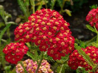 Paprastoji-kraujazole-Achillea-millefolium-Paprika